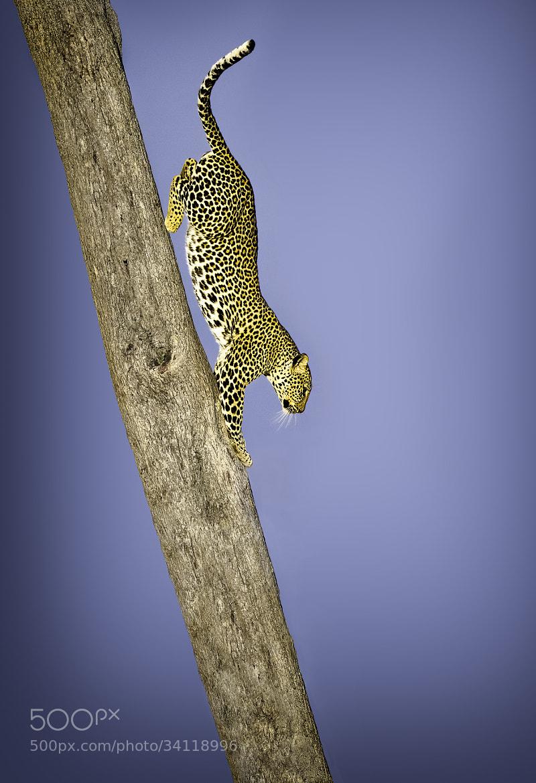 Photograph Leopard by Batu Berkok on 500px