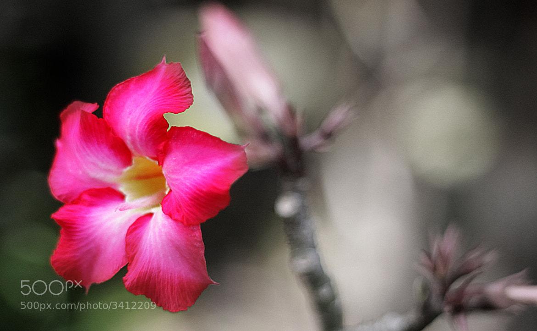 Photograph desert rose by Ramesh Ramakrishnan, Iyer on 500px