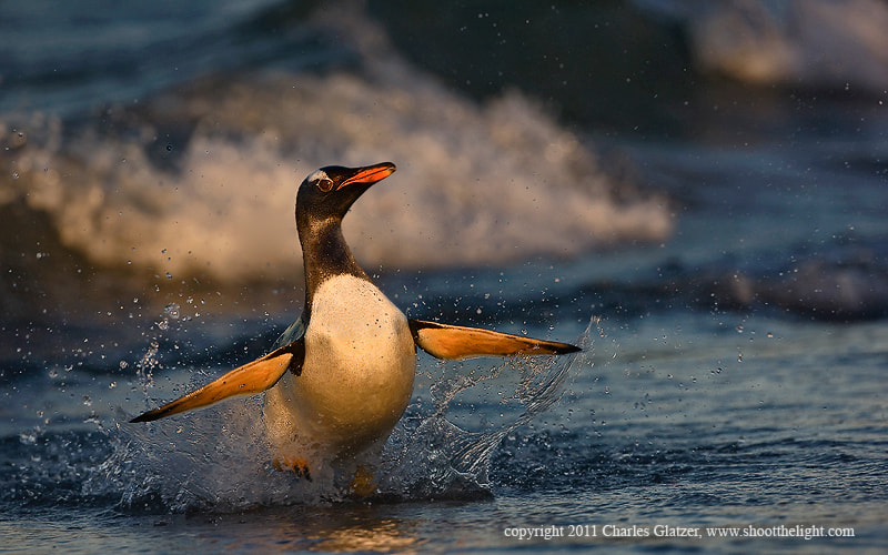 Photograph Gentoo in surf by Charles Glatzer on 500px