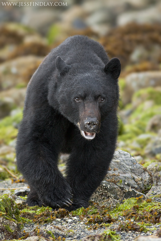 Photograph Black Bear out for a Stroll by Jess Findlay on 500px