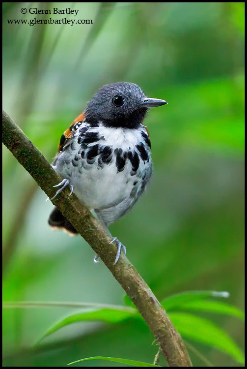 Photograph Spotted Antbird (Hylophylax naevioides) by Glenn Bartley on 500px