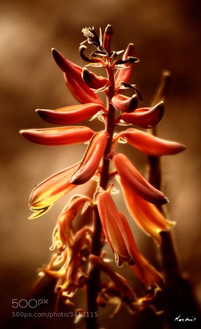 Photograph Desert bloom by Randy Kochis on 500px