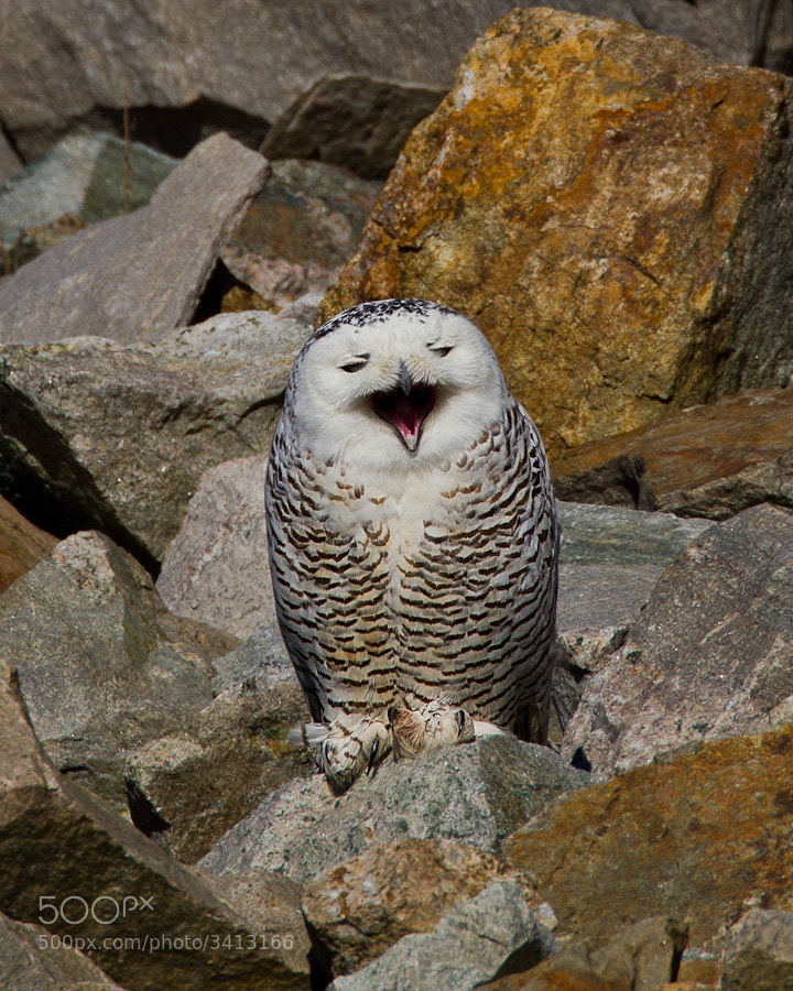 Sometimes being a snowy owl can be so tiresome!