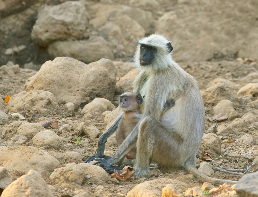 """Took this one in Kanha National Park, India. """"pesky"""" rock!"""