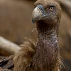 Gryphon Vulture Catalan Pyrenees, Spain