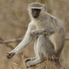 Vervet Monkey, Mono vervet Kruger National Park, South Africa