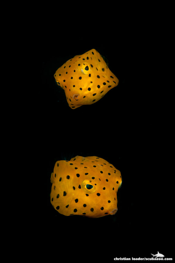 Photograph Boxfish Couple by Christian Loader on 500px