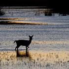Fallow Deer - Gamo Comun Aigüamolls de l'Emporda, Girona, Spain