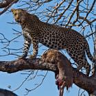 Leopard & Impala Sabi Sand Private Game Reserve, Kruger National Park, South Africa