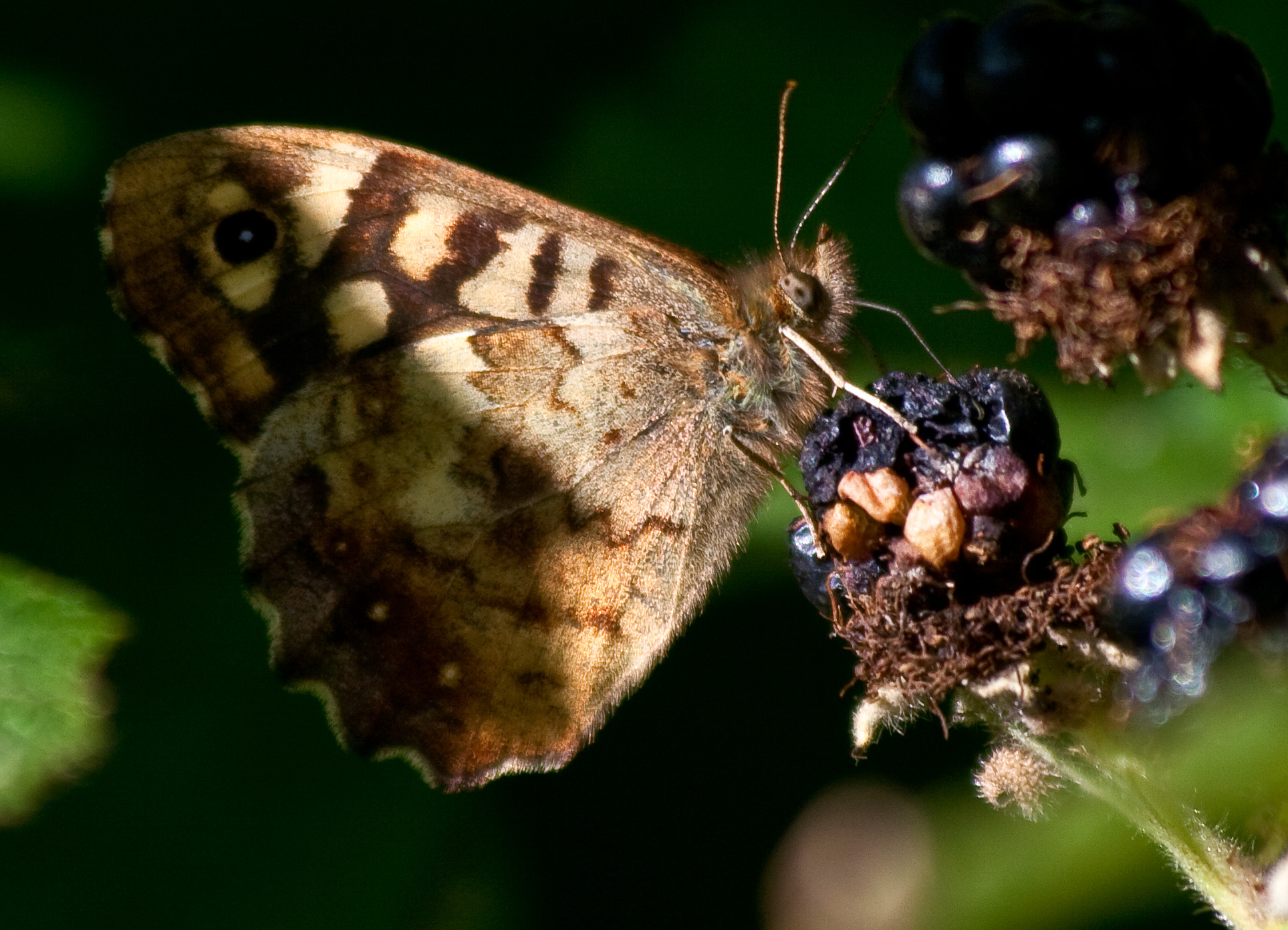 Photograph Speckled Wood butterfly by Bev Mynott on 500px