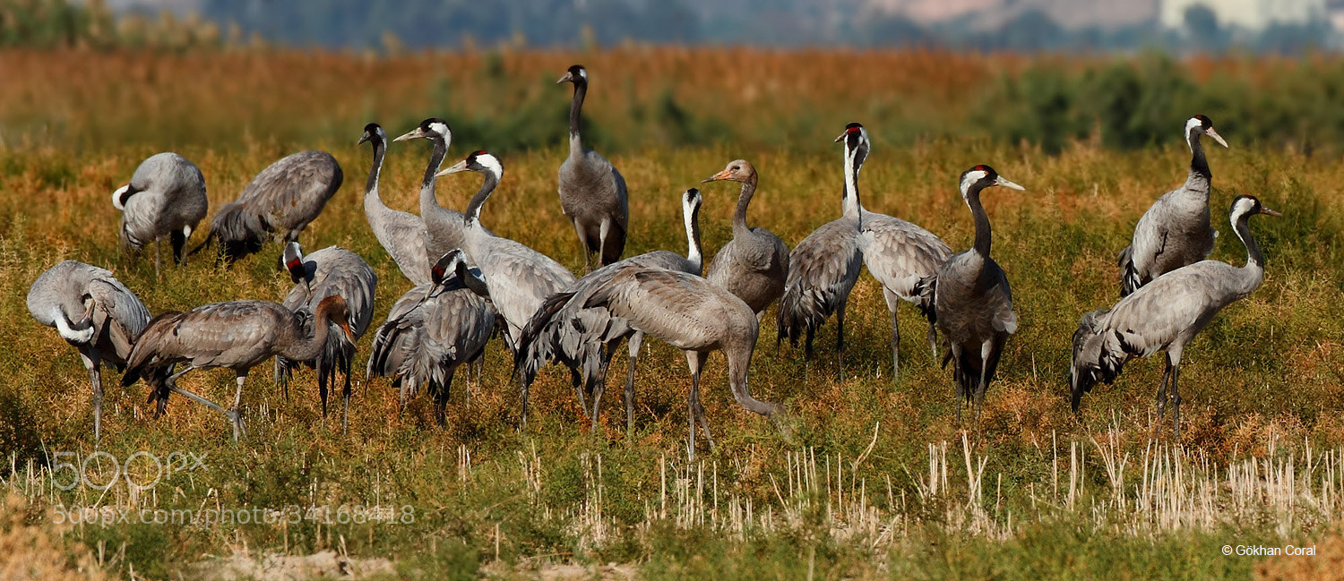 Photograph Common Crane by Gökhan CORAL on 500px