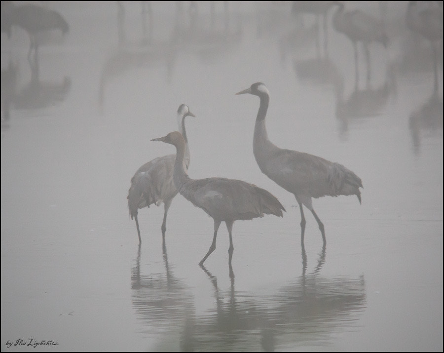 Common Crane in mist №1