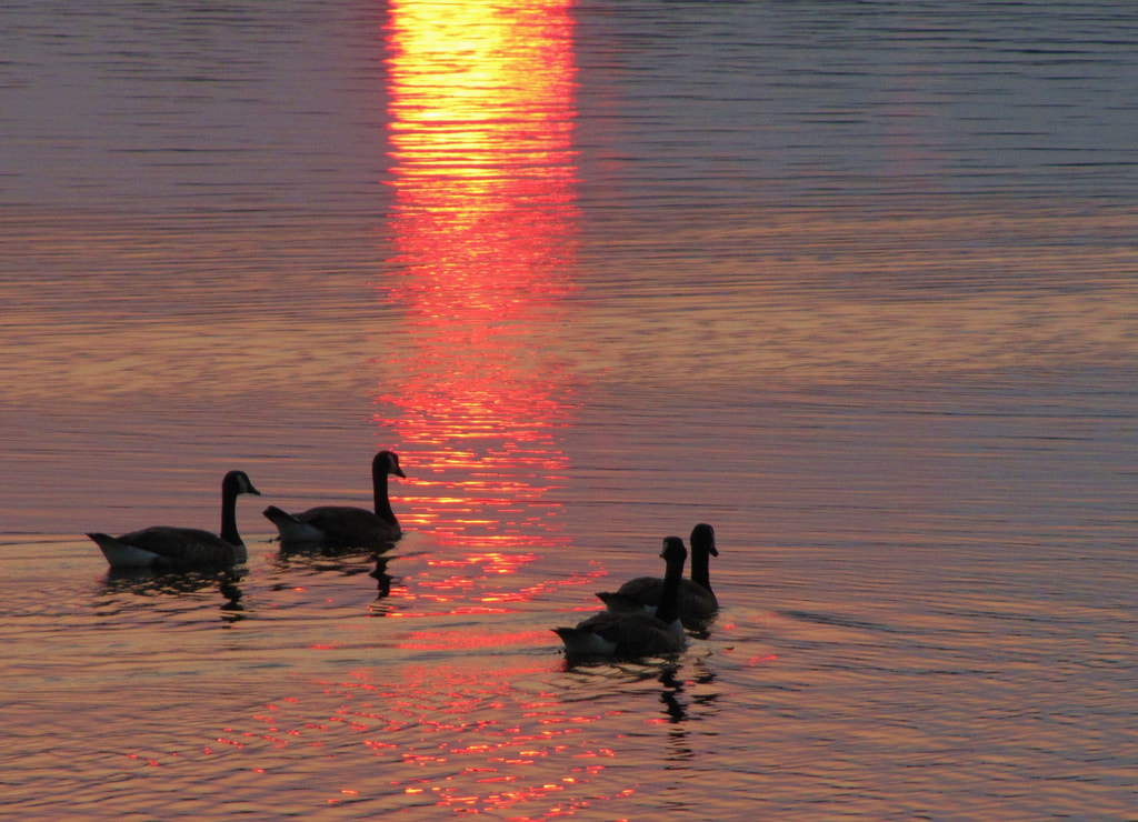 Photograph Geese and reflections  by Paul Wyman on 500px