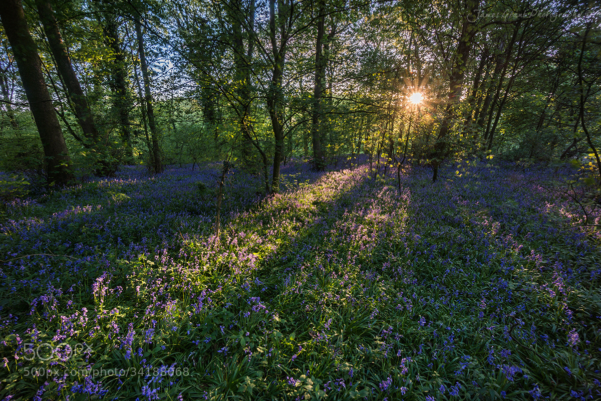 Photograph Bluebells by James Grant on 500px