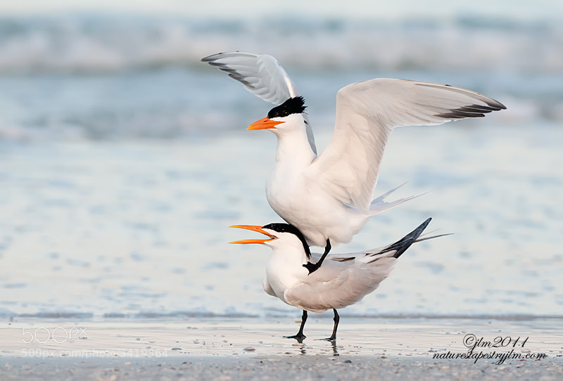 This was taken last spring when the courting of the royal terns was in full swing.  They are such beautiful and interesting birds and especially during the courting season .   The male will dance around and bring his desired lady a gift of a freshly caught fish and it is jut wonderful to watch.