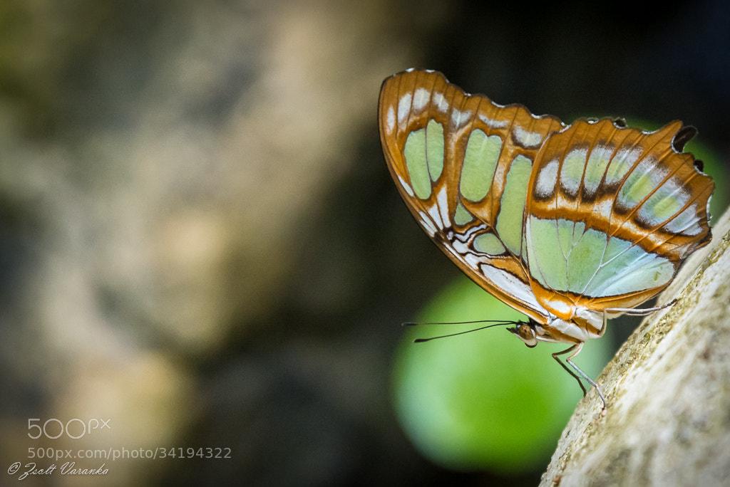 Photograph butterfly by Zsolt Varanka on 500px
