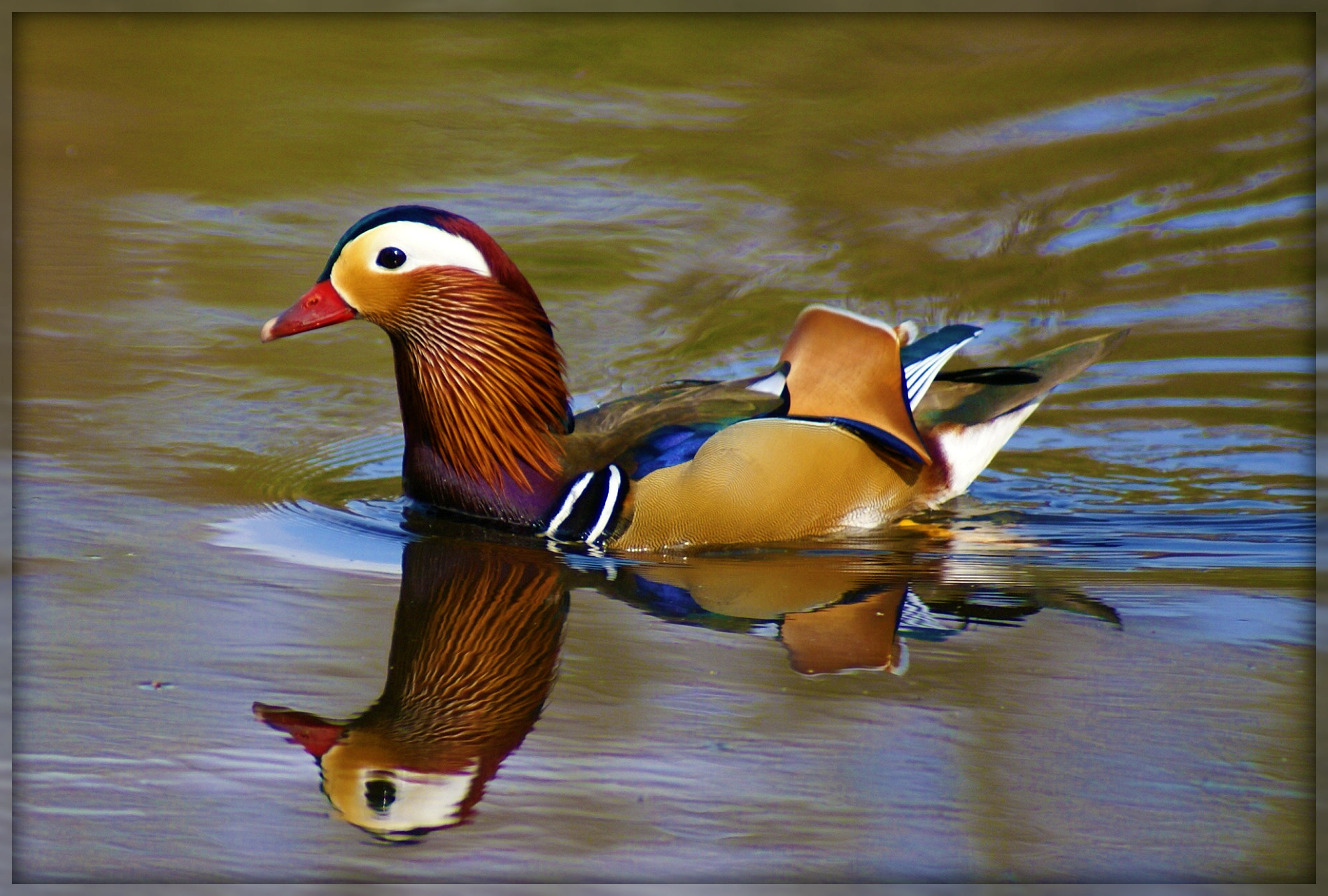 Photograph Mandarin Duck by Bev Mynott on 500px