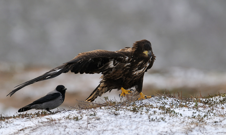 Juvenile White-tailed Eagle gets company of a Hooded Crow.  Have no idea why the Juvenile White-taled did spread it's left wing at the moment the Hooded Crow was beside it.  Shot taken from a hide in the mountains near Flatanger in Norway.  Please click on the image to view large.  Best regards and have a nice evening,  Harry