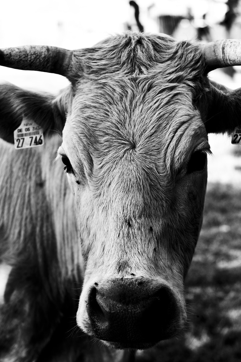 Photograph Cow by theonlyheinrich on 500px