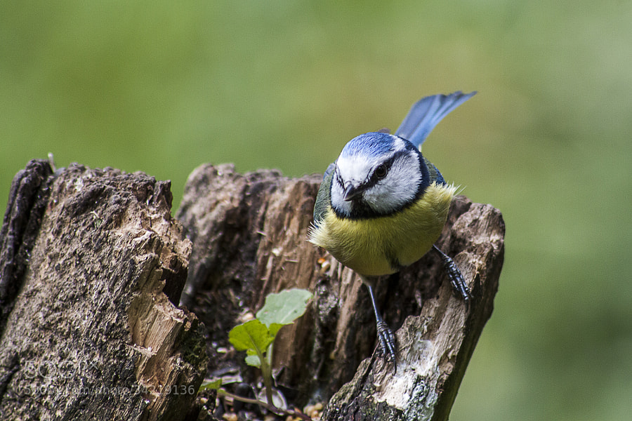 Blue Tit by Katie Halsall on 500px.com