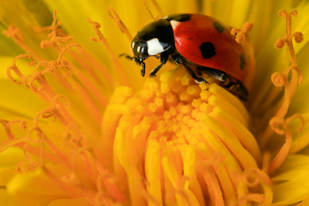 Photograph Ladybird by Billy Currie on 500px