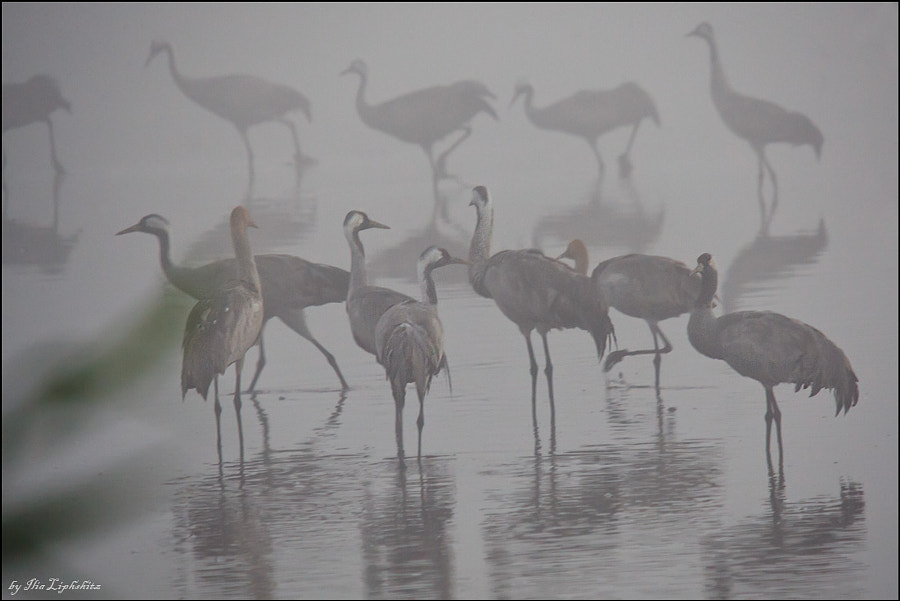 Common Cranes in mist №2