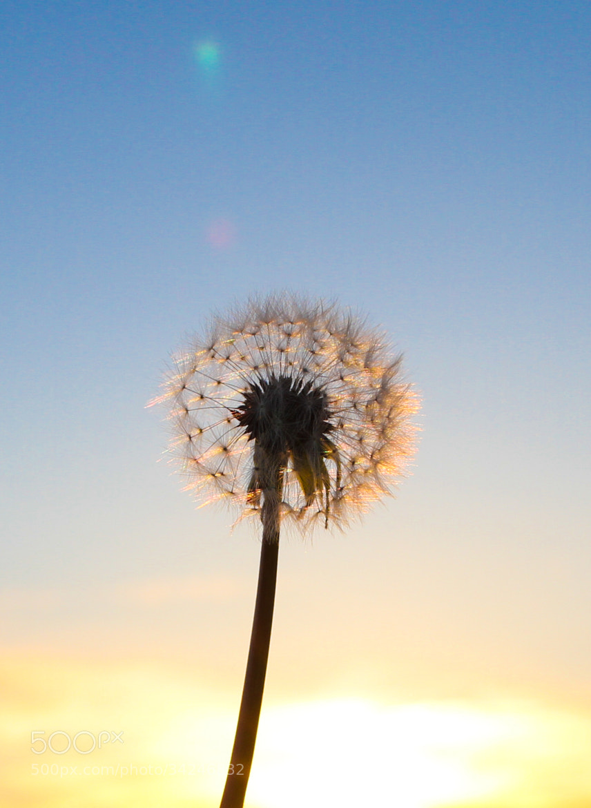 Photograph Dandelion by Paul Spencer on 500px