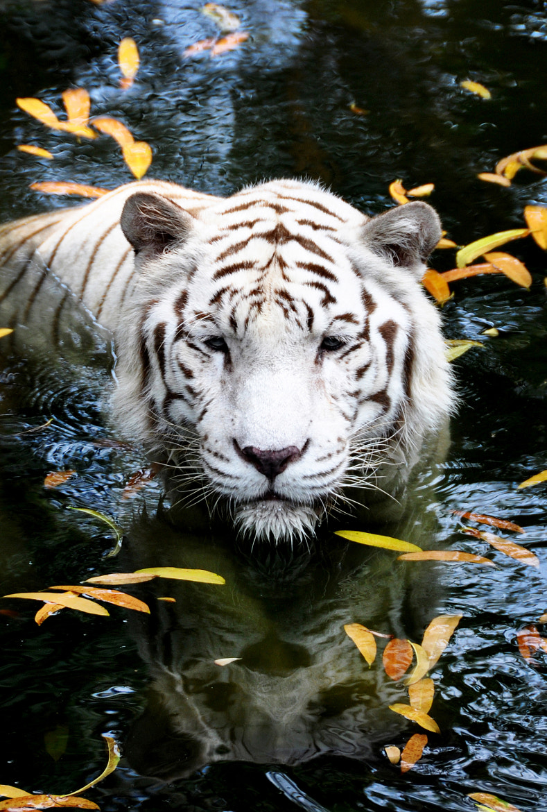 Photograph White Tiger by Jane Chuah on 500px