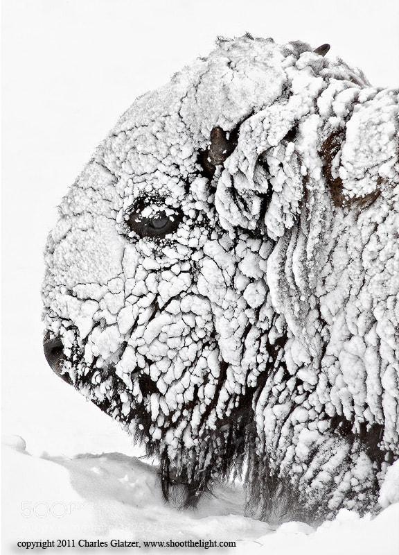 Photograph Bison Portrait in snow by Charles Glatzer on 500px