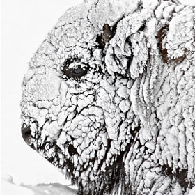 Bison Portrait in snow by Charles Glatzer (Chas)) on 500px.com