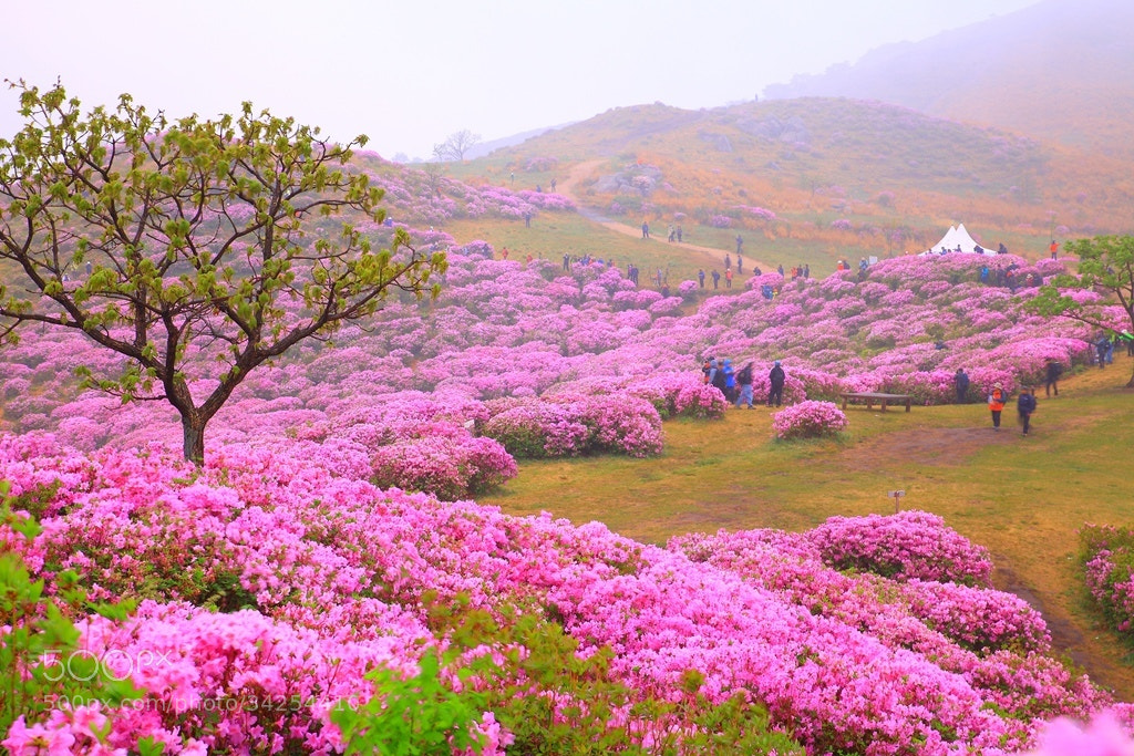 Photograph Azalea hwangmaesan by 기문 kim on 500px