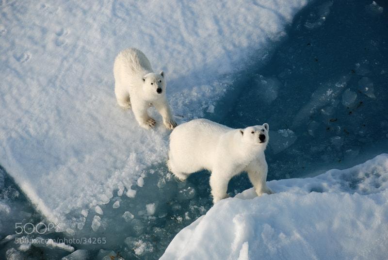 Photograph Polar bears close to the Icebreaker by Yaroslav Nikitin on 500px