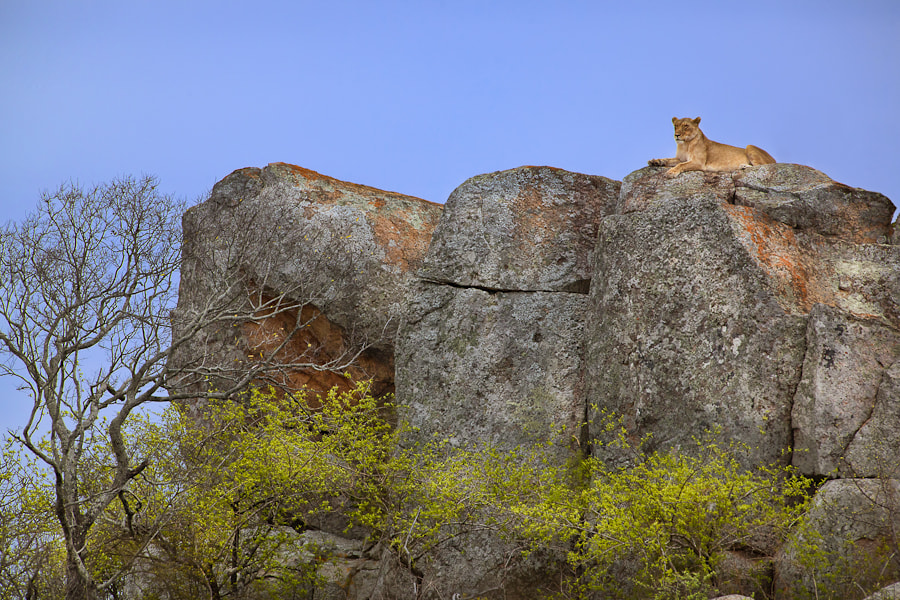 Photograph Lion On The Rocks by Mario Moreno on 500px