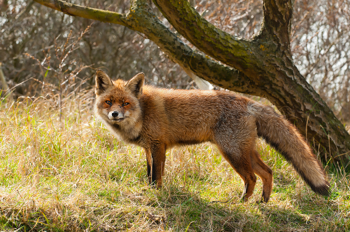 Photograph Old Fox by Rob Janné on 500px