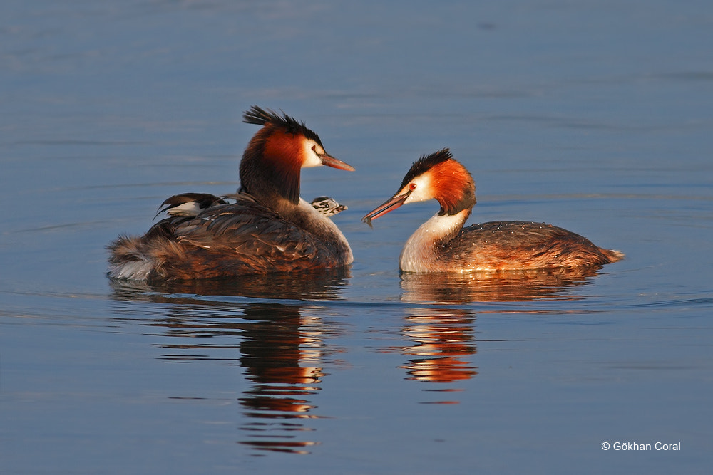 Photograph Great crested grebe by Gökhan CORAL on 500px