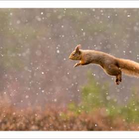 Flying squirrel, falling snow