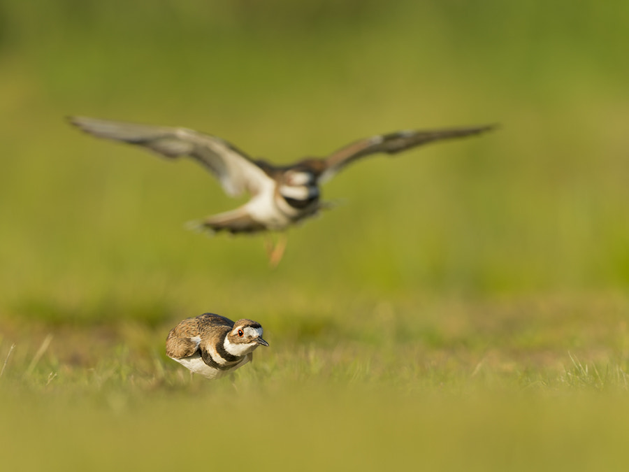 Photograph Little Ringed Plover by Darek Siusta on 500px