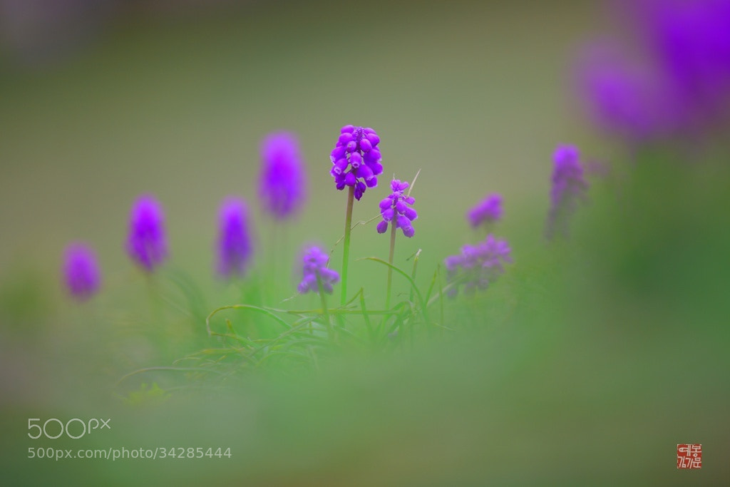 Photograph grape hyacinth  by 기문 kim on 500px