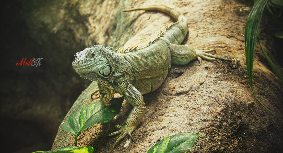 Photograph Iguana by Melo Ph on 500px