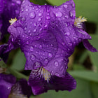 I went out to see how the Irises were doing after the rain and was surprised to see that some of them had closed three petals over themselves to form a small umbrella. This one looked truly water-tight.