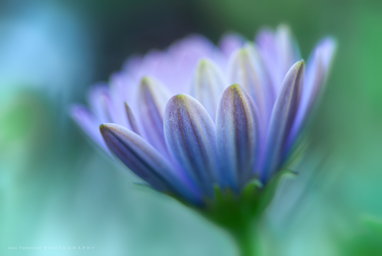 Photograph Blue Petals by Ann Thomstad on 500px