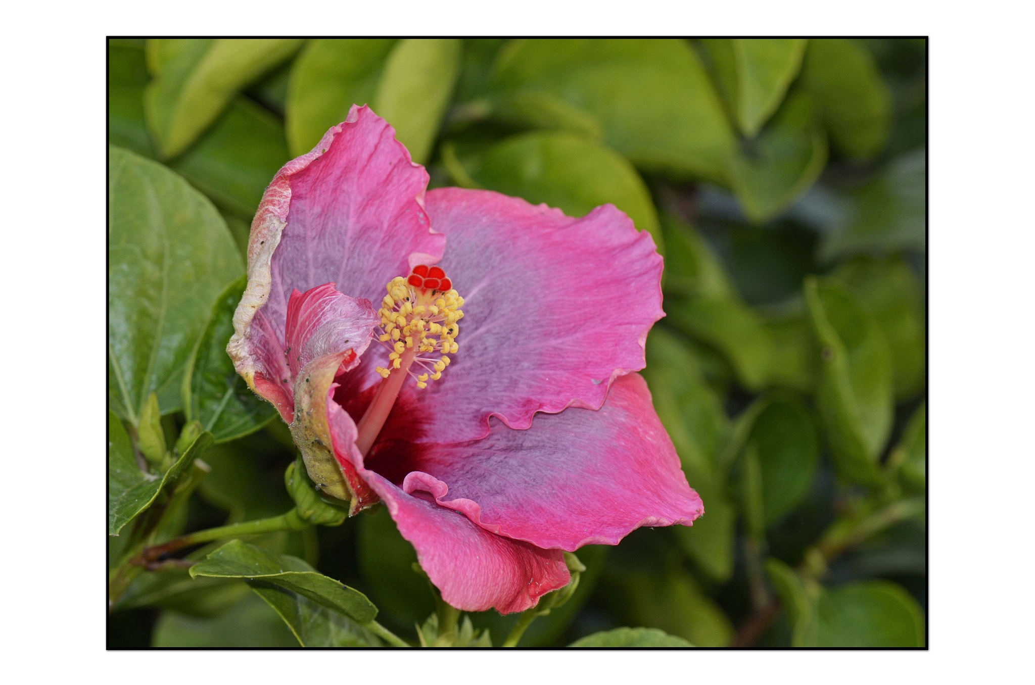 Photograph Hibiscus by Angella Parker on 500px