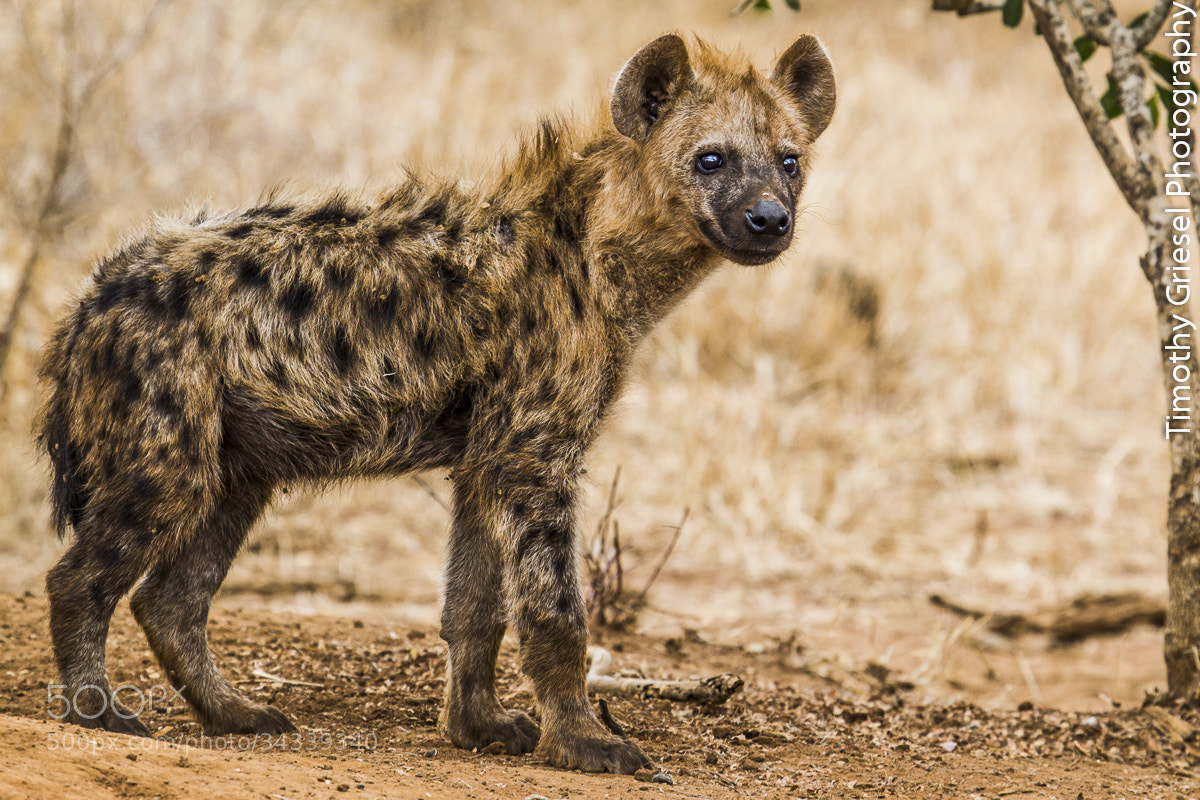 Photograph Spotted Hyena by Timothy Griesel on 500px