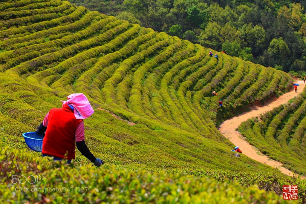 Photograph Woman tea picker by 기문 kim on 500px