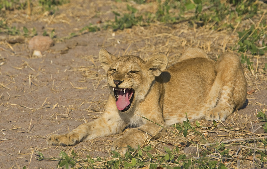 This youngster takes a break after a long walk, with his friends, taken in Ruaha NP, Tanzania