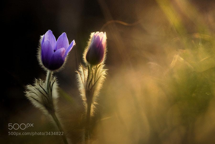 Photograph   Promise of spring by Péter Koczkás on 500px