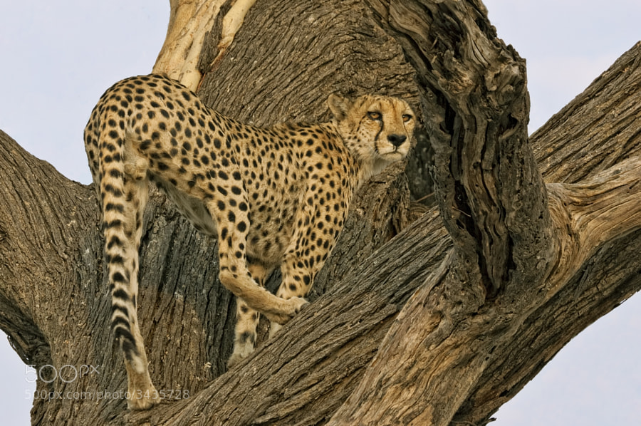 """This is one of the """"blood Brothers"""" up their facourite lookout tree, he is arounnd 6 meteres from the ground. taken in Kwando concession Botswana"""