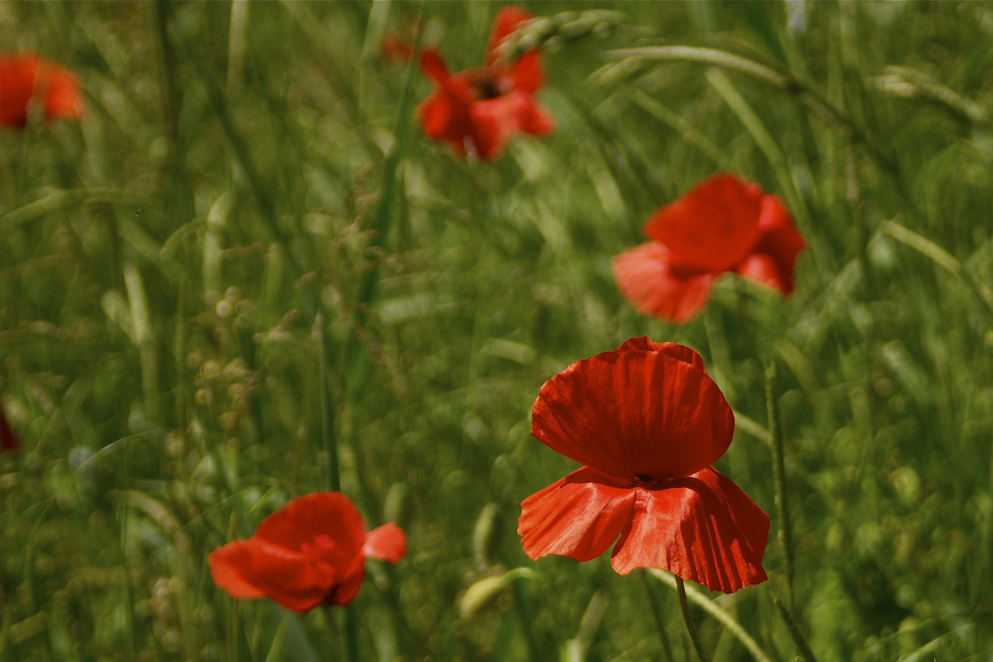 Photograph Poppies... by Kim   on 500px