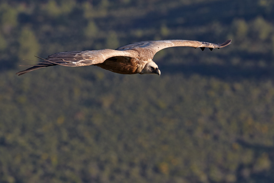 Flyby of a vulture