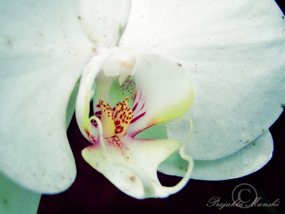 Photograph Moth Orchid by Prajakta Munshi on 500px